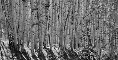 Photograph - Aspens by Wilma  Birdwell