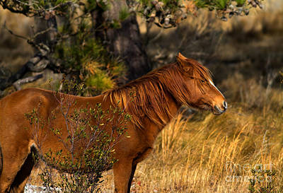 Assateague Wild Pony Art Print by Ursula Lawrence