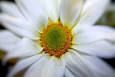 Photograph - Asteraceae 02 by Elizabeth  Doran