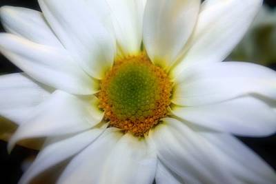 Photograph - Asteraceae 03 by Elizabeth  Doran