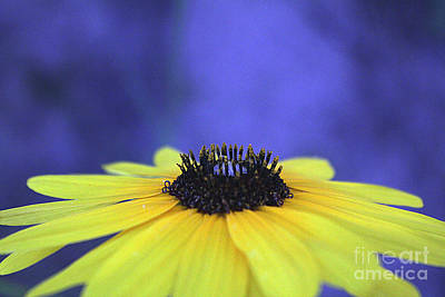 Photograph - Asteraceae Gilded by Alycia Christine