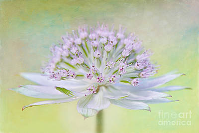 Astrantia Photograph - Astrantia Art by Jacky Parker