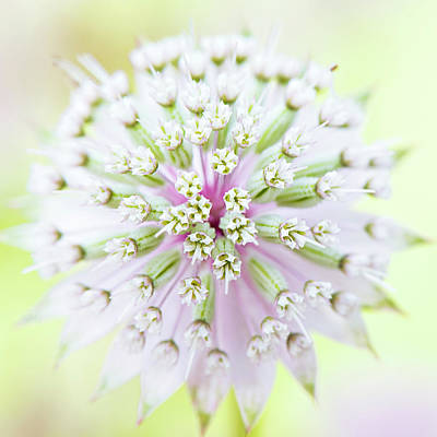 Astrantia Photograph - Astrantia Flower by Jacky Parker Photography