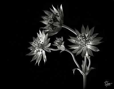 Astrantia Photograph - Astrantia In Black And White by Endre Balogh