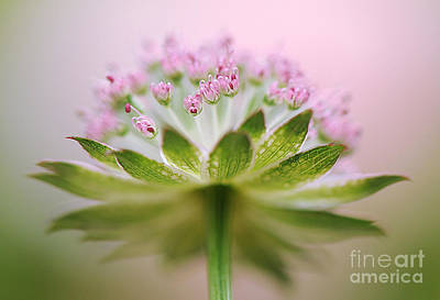 Astrantia Photograph - Astrantia Splash by Jacky Parker