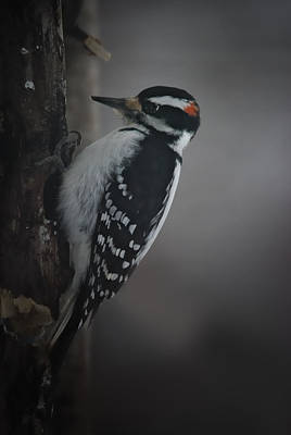 Woodpecker Wall Art - Photograph - At Work by Susan Capuano