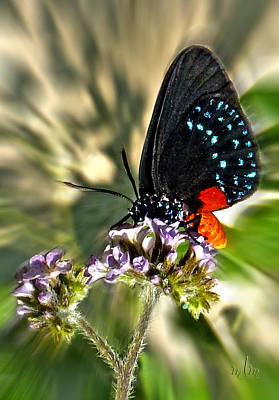 Photograph - Atala The Butterfly by Marie Morrisroe