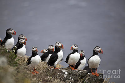 Atlantic Puffins On Cliff Edge Art Print by Greg Dimijian