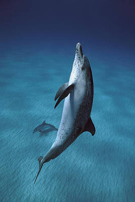 Photograph - Atlantic Spotted Dolphin  by Hiroya Minakuchi