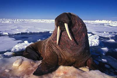 Atlantic Walrus O. Rosmarus Rosmarus Art Print