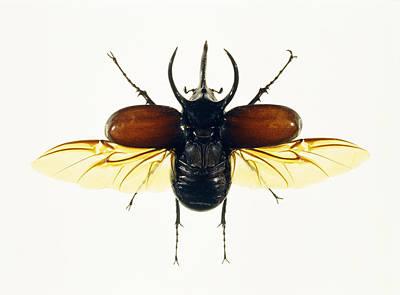 Atlas Beetle Art Print by Lawrence Lawry