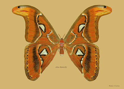 Digital Art - Atlas Moth by Walter Colvin