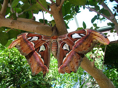 Atlas Moth Art Print by Wendy McKennon