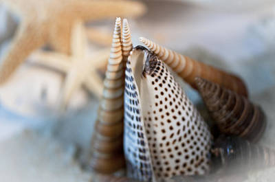 Photograph - Augers Cone Starfish by Wilma  Birdwell