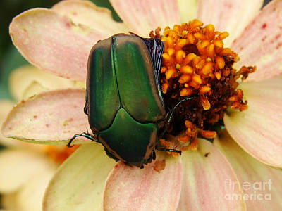 Photograph - August June Bug by Mark Holbrook