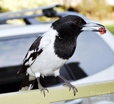Photograph - Australian Magpie With Salami by Joanne Kocwin