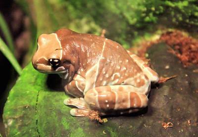Photograph - Australian Milk Frog by Judith Szantyr