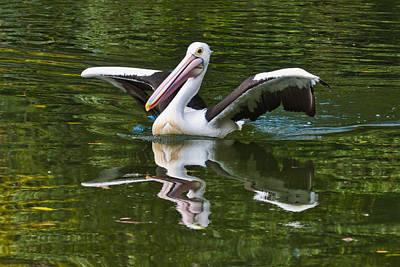 Perth Zoo Photograph - Australian Pelican by Chris ODonoghue