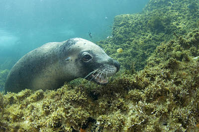 Australian Sea Lion Photograph - Australian Sea Lion by Matthew Oldfield