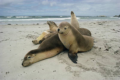 Australian Sea Lion Photograph - Australian Sea Lion Neophoca Cinerea by Gerry Ellis
