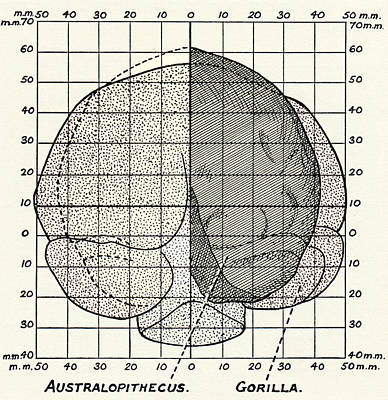 Fossil Reconstruction Photograph - Australopithecus And Gorilla Brains by Sheila Terry
