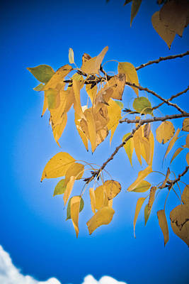 Autumn Aspen Leaves And Blue Sky Print by James BO  Insogna