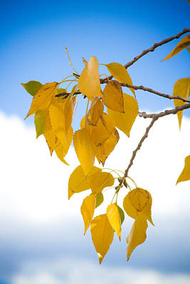 Commercial Photograph - Autumn Aspen Leaves by James BO  Insogna