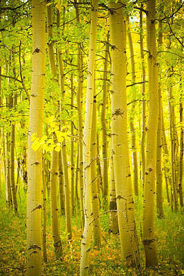 Autumn Aspens Vertical Image  Art Print by James BO  Insogna