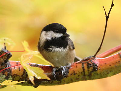 Photograph - Autumn Chickadee by Angie Vogel