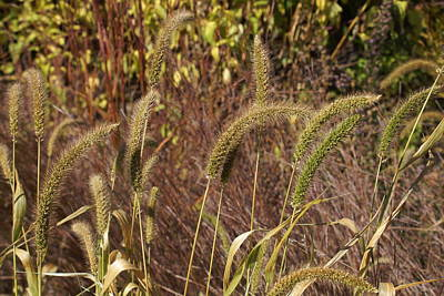 Photograph - Autumn Grasses by Ron Read