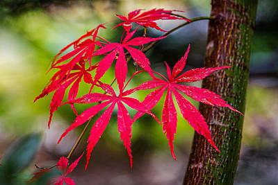 Autumn Japanese Maple Art Print by Ken Stanback