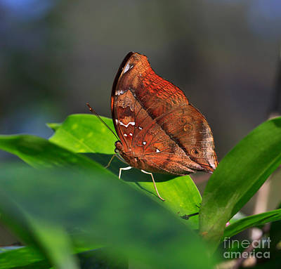 Butterfly Photograph - Autumn Leaf Butterfly by Louise Heusinkveld