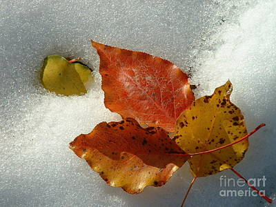 Photograph - Autumn Leaves In Snow by Barbara Plattenburg