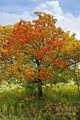 Autumn Maple Tree Art Print by Elena Elisseeva