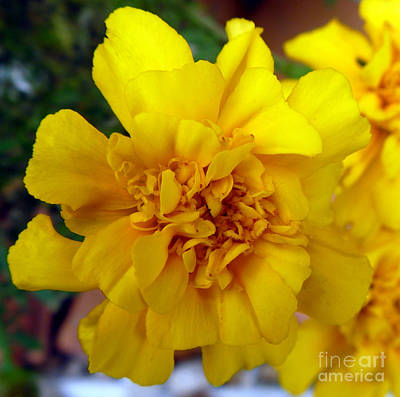 Indiana Photograph - Autumn Marigold 2 by Alys Caviness-Gober