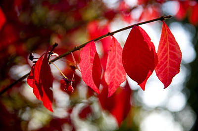 Burning Bush Photograph - Autumn Red Leaves And Berries by Stephen St. John