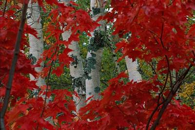 Autumn Red Maple Leave Frame Art Print by Medford Taylor