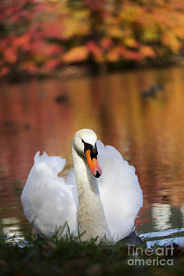 Autumn Swan Art Print by Leslie Leda