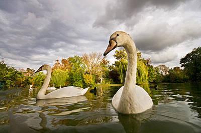 Autumn Swans Art Print