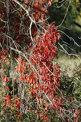 Photograph - Autumns Red Vines by Shawn Naranjo