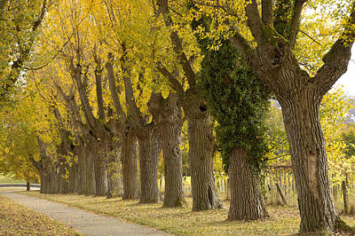 Photograph - Avenue With Black Poplar Trees In Autumn by Matthias Hauser