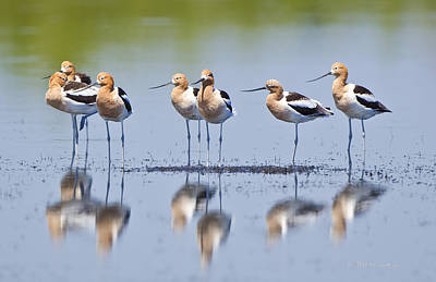 Photograph - Avocet Boys by Mike Fitzgerald