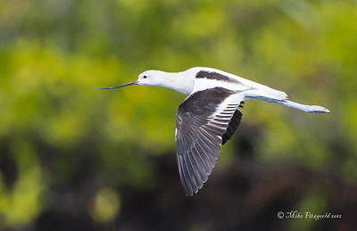 Photograph - Avocet Flight by Mike Fitzgerald