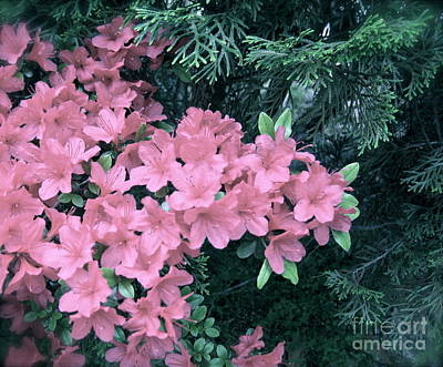 Photograph - Azaleas And Evergreens  by Nancy Patterson