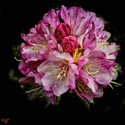 Photograph - Rhododendron by Chris Lord