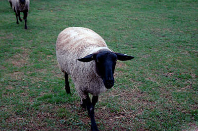 Photograph - Ba Ba Black Sheep by LeeAnn McLaneGoetz McLaneGoetzStudioLLCcom
