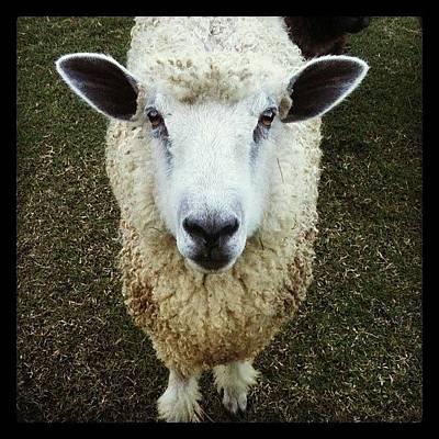 Sheep Photograph - Baaa Baaa by Brooke Cain
