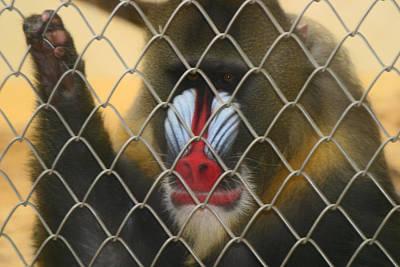 Baboon Behind Bars Art Print by Kym Backland