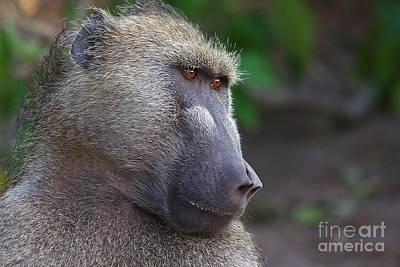 Photograph - Baboon Boss by Mareko Marciniak