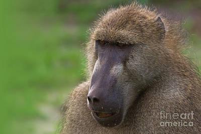 Photograph - Baboon Portrait by Mareko Marciniak